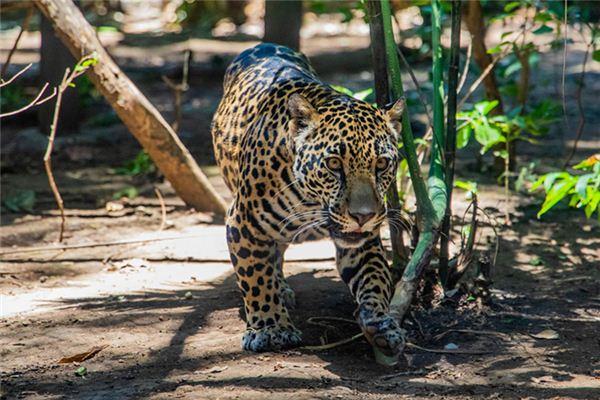 La signification de rêver d'un léopard