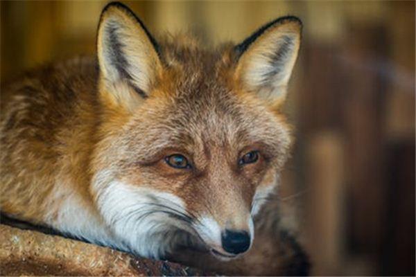 La signification du rêve d'un renard