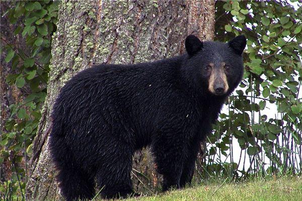 La signification de rêver d'ours