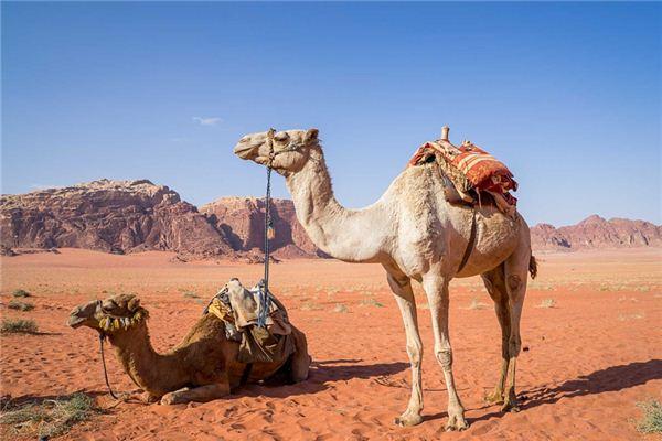 Rêver de la signification des chameaux